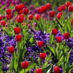 sma_tulips